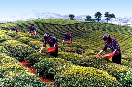 Tea Sourcing in China